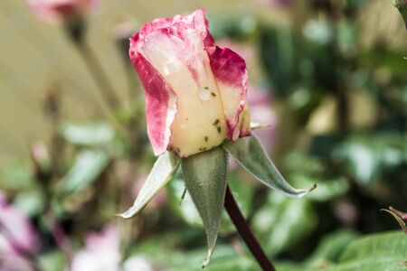 A rose flower with many small green bugs - aphids Stock Photo
