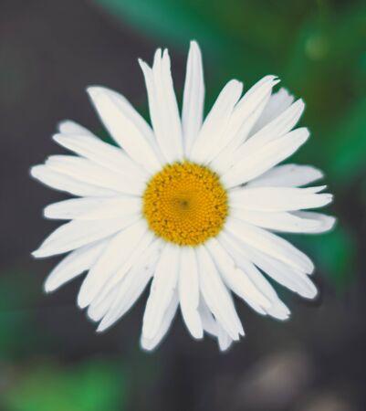 Blurred daisy flower on green background Stockfoto