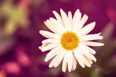 Nature spring blurred background with empty copy space and white daisy flower with red bokeh