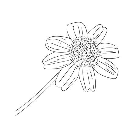 Vector illustration, isolated perennial rudbeckia flower in black and white colors, outline original hand painted drawing