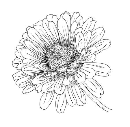 Vector illustration, isolated zinnia flower in black and white colors, outline original hand painted drawing