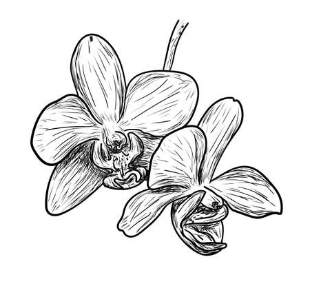 Vector illustration, isolated orchid flower in black and white colors, outline original hand painted drawing Vectores