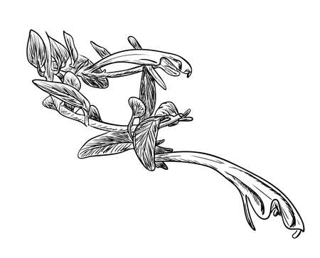 Vector illustration, isolated columnea flower with leafs in black and white colors, original outline hand painted drawing Vectores
