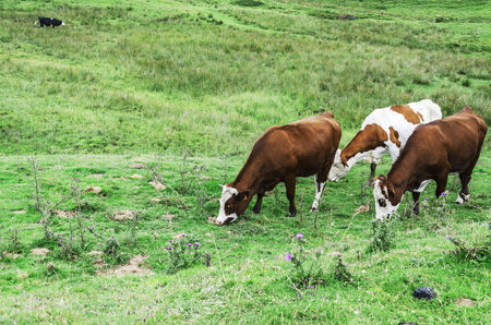 Cows on the Pyrenees mountains in Spain photo