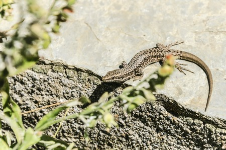 populations: The common wall lizard (Podarcis muralis) is a species of lizard with a large distribution in Europe and well-established introduced populations in North America, where it is also called the European wall lizard. It can grow to about 20 cm