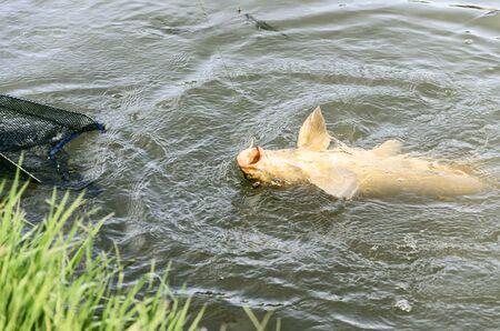 pisciculture: fishing carp at Ebro river