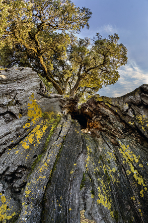 Impressive oak in the Navarrese town of Eraul, they say that one day lightning struck him and he stayed, but he did not die. The trunk is very twisted as you see in the photos and is approximately 1.30 m. diameter. I have a helmet to give you an idea of