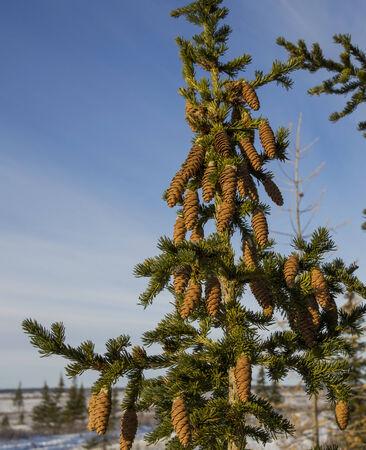 bunchy: fir cones Stock Photo