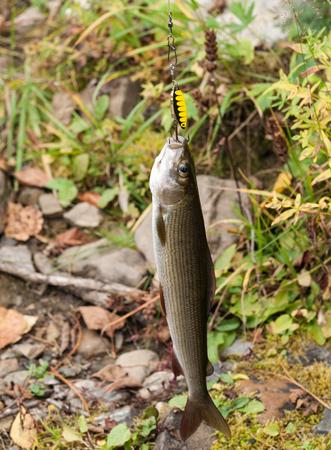 grayling: grayling - Thymallus thymallus caught with bait