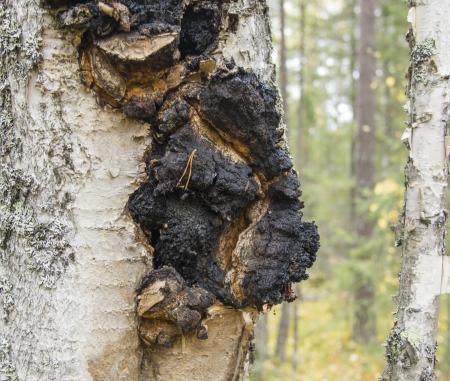 バーチの木棚菌