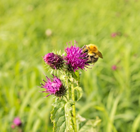 flower of thistle - carduus with bumblebee photo