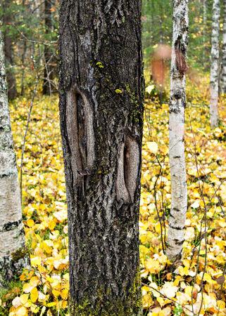notch: notch on the stem of aspen tree