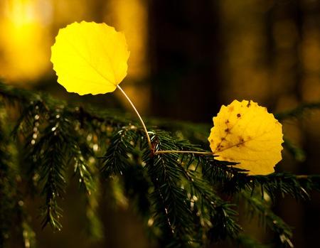 spiraglio: gloriosi colori sulle foglie di pioppo cadute