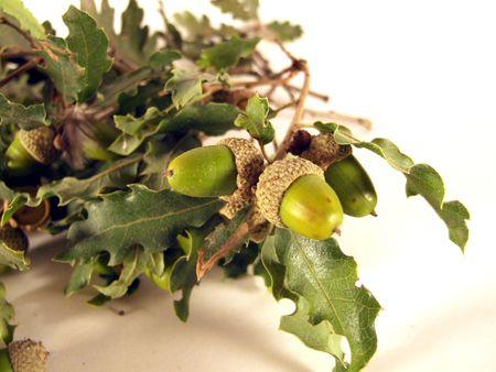 oaken: oak leaves and acorns