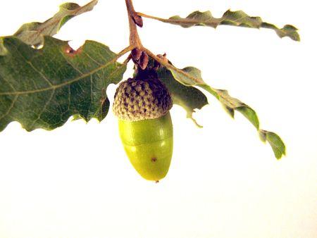oaken: acorn Stock Photo