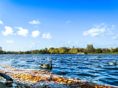 A black swan and fallen autumn leaves on the Serpentine River in autumn, Hyde Park, London