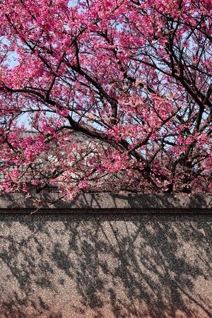 Sakura  tree by the wall photo