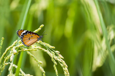 The butterfly on the rice Stock Photo