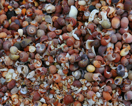 muck: A shell covered beach on the Isle of Muck in Scotland