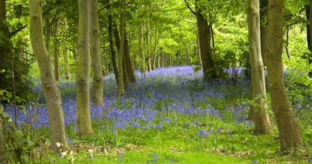 A woodland full of bluebell flowers photo
