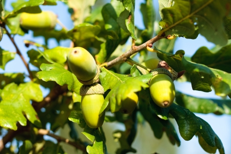 quercus robur: Acorns and oak leaves on the branch of an oak tree