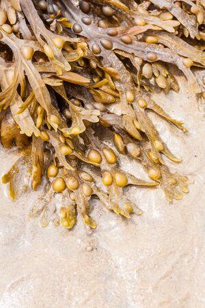 alga marina: Un grupo de algas frescas pone en la arena Foto de archivo