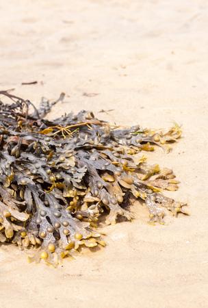 alga marina: Un grupo de algas marinas pone en la arena de oro