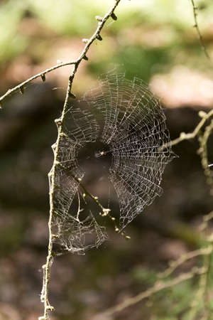 A spider naturally spinning it's web in the wild but slightly broken because of wind damage. 版權商用圖片