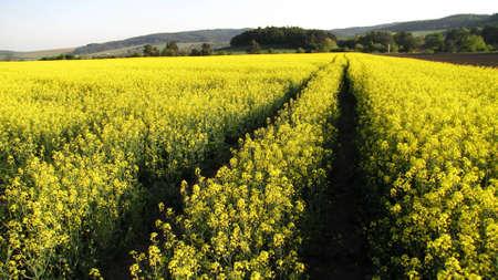 Oilseed ripe field
