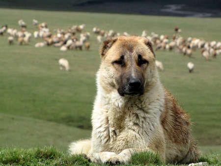 sheepdog: Shepherd dog Stock Photo