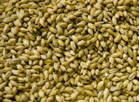 malted: Malted Barley grains