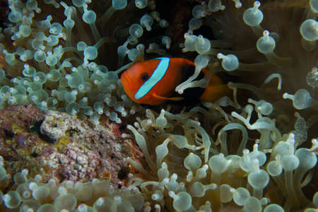 A clown fish nestles insdife a sea anemone.