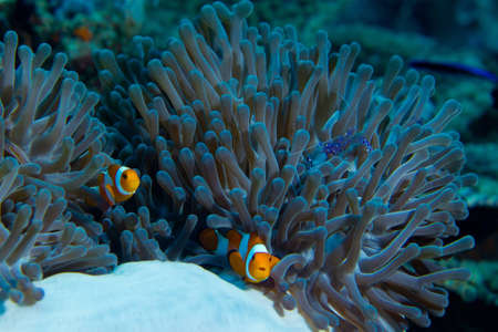 Clown fish and shrimp live together in this anemone.
