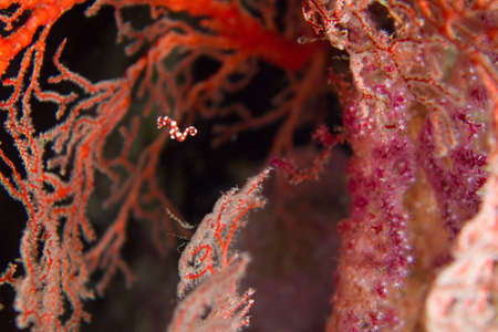 A pygmy sea horse jumps from one sea fan to the next