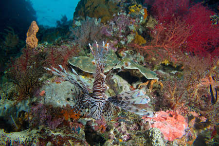 A lion fish stalks a colorful coral reef