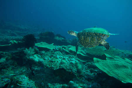 A sea turtle swims over  an Indonesian reef