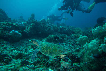 A sea turtle swims along with divers in Indonesia  Stock Photo