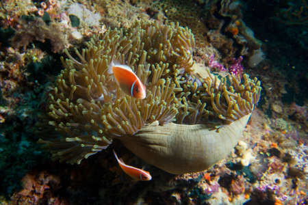 Two clownfish guard an anemone as it closes for the night  Stock Photo