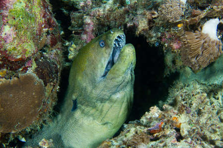 A moray eel wards off nightly intruders  Stock Photo