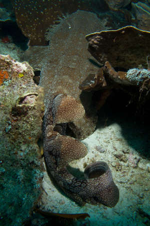 A wobbegong shark carpets itself over the reef  Stock Photo