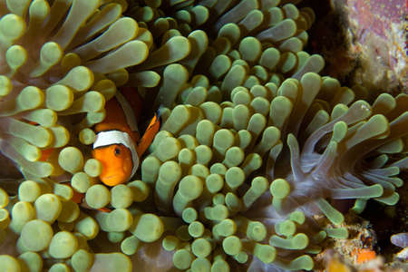 A clown fish seeks shelter in a green anemone  Stock Photo