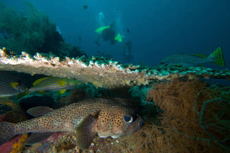 A pufferfish hides under a hard coral as divers go by  Stock Photo