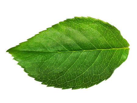 Close up of a green leaf showing the structure and veins, isolated on a white background