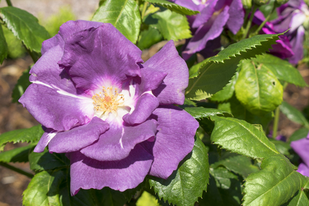 single beutiful violet colored rose in a sunny garden