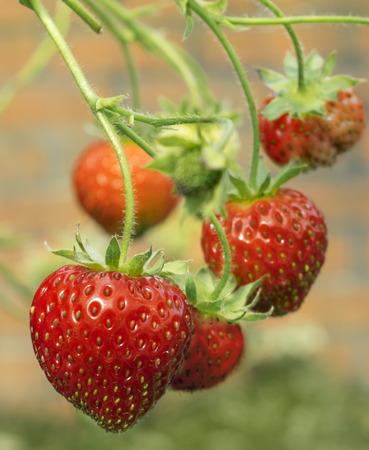 Fresh healthy ripe red strawberries growing in a garden  Reklamní fotografie