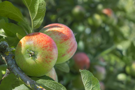 Close up of an apple on a tree with a blurred background for copy space Reklamní fotografie