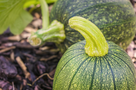 Close up of a young green pumpkin