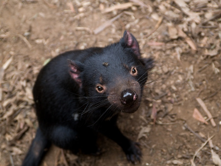 the scars: Sarcophilus Harrisii, the Tasmanian Devil.  On location in Tasmania, showing typical scars around nuzzle, and red ears
