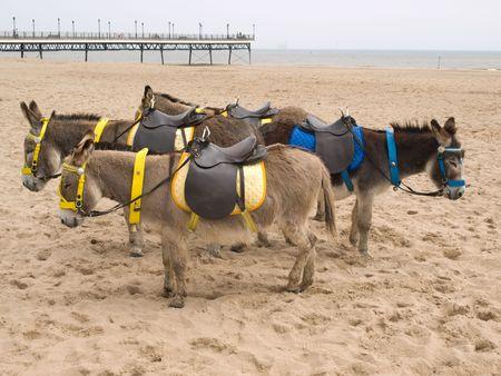 Burros en la playa  Foto de archivo - 3117115