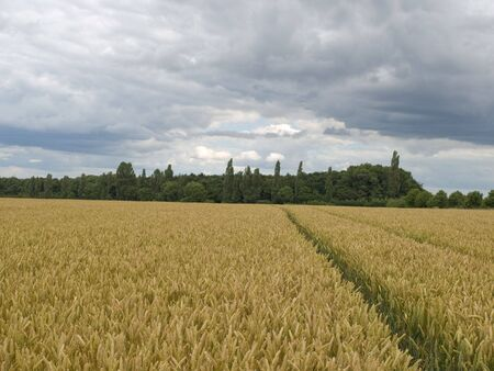 clody sky: Landscape view of a field of crops with trees and clody sky